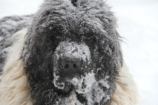 Full grown Charlie: 190 pounds of love (and muscle)